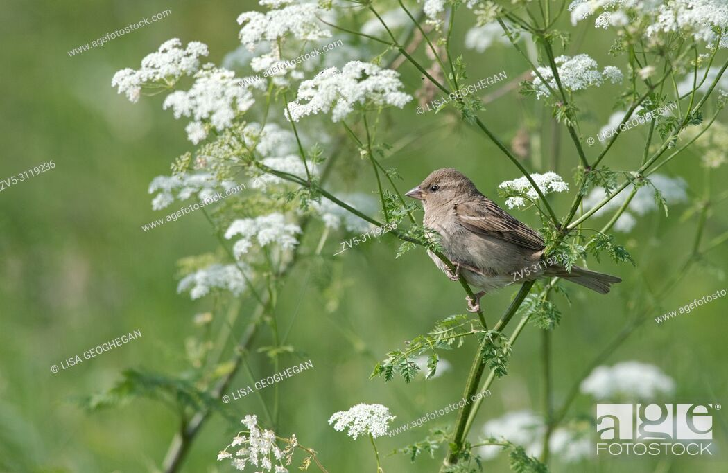 Imagen: Female House Sparrow, Passer domesticus perched on Cow Parsley-Anthriscus sylvestris.