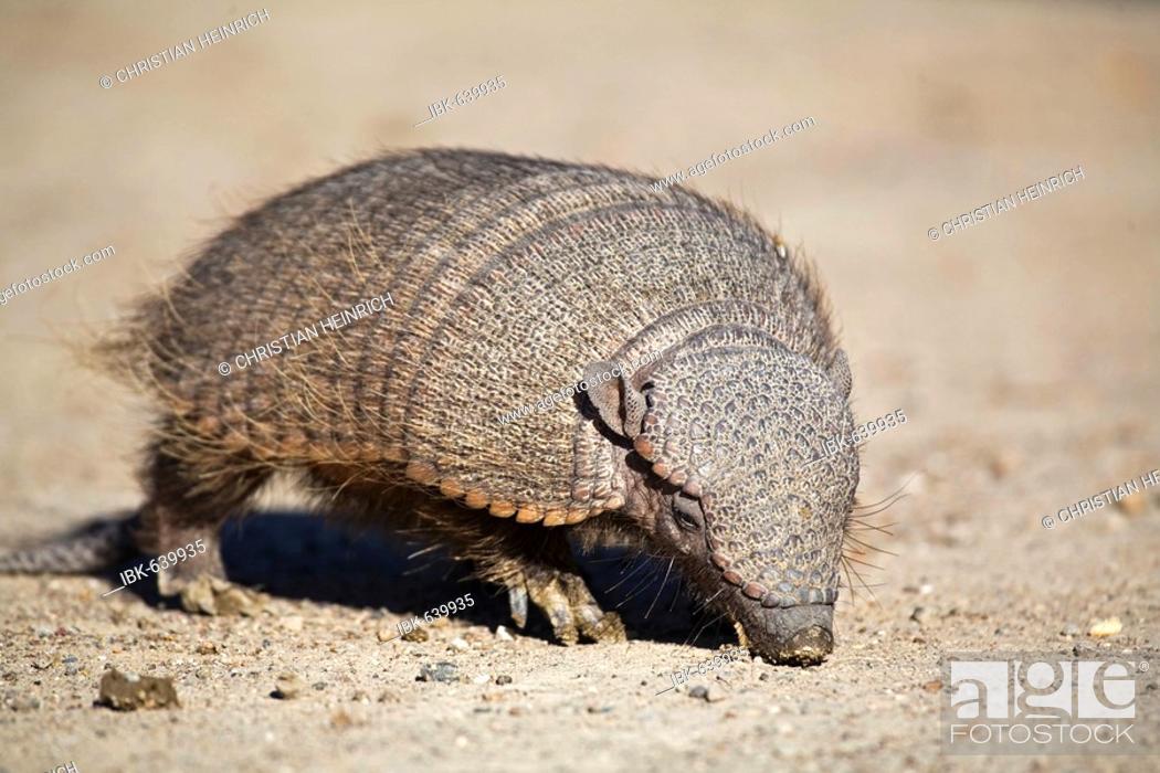 Imagen: Amadillo (Dasypodidae), peninsula Valdes, Patagonia, east coast, Atlantic Ozean, Argentina, South America.