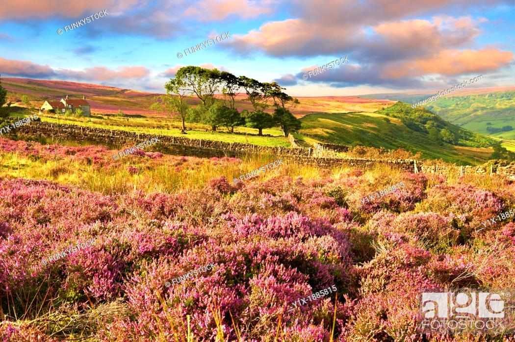 Stock Photo: Heather blooming on the Fryup Dale moor  North Yorks National Park, North Yorkshire, England.