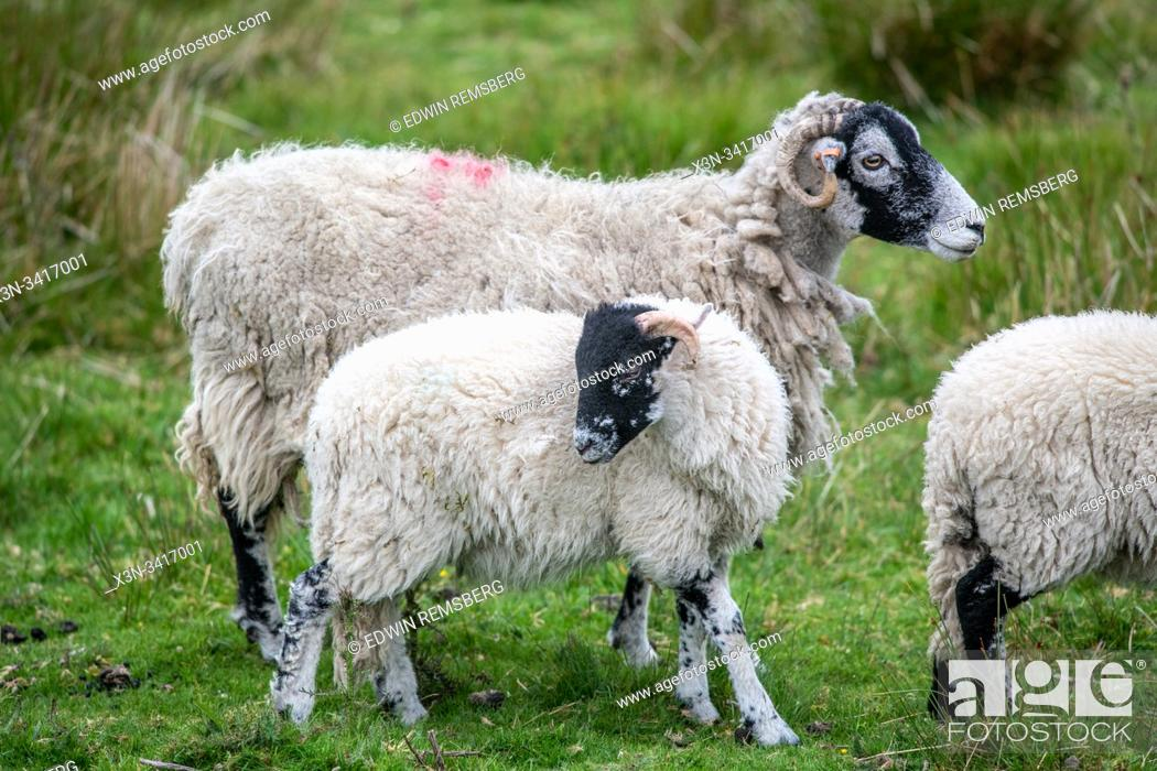 Stock Photo: A mother sheep and her child, Hawes, Yorkshire, UK.