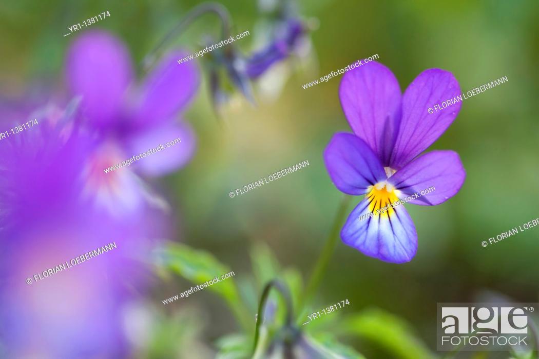 Stock Photo: A close-up of a wild tricolor viola (violaceae).