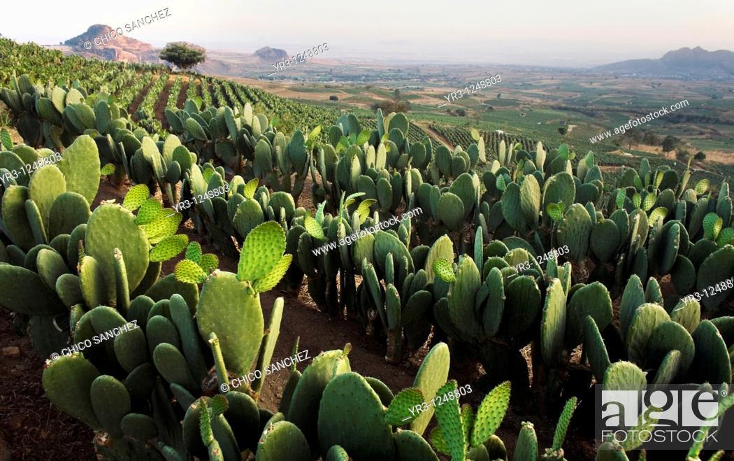 Stock Photo: Nopal Fields near Tlayacapan, Mexico.