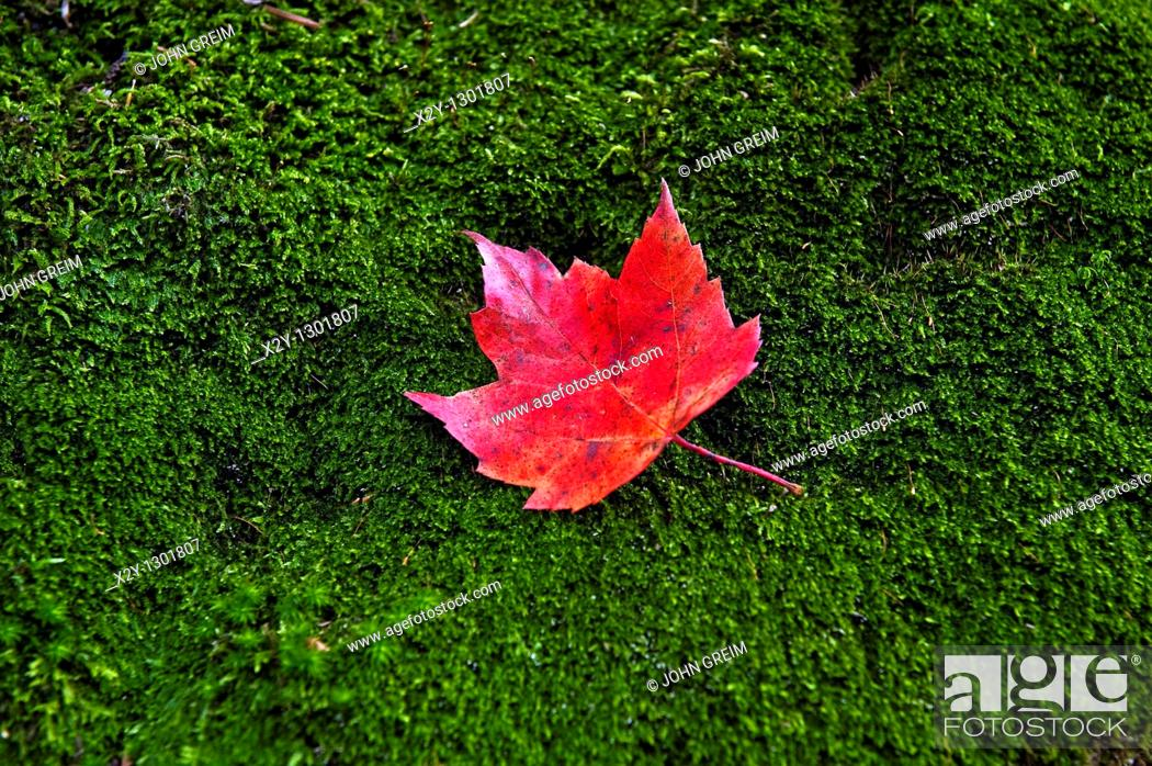 Stock Photo: Red maple leaf on a bed of green moss.