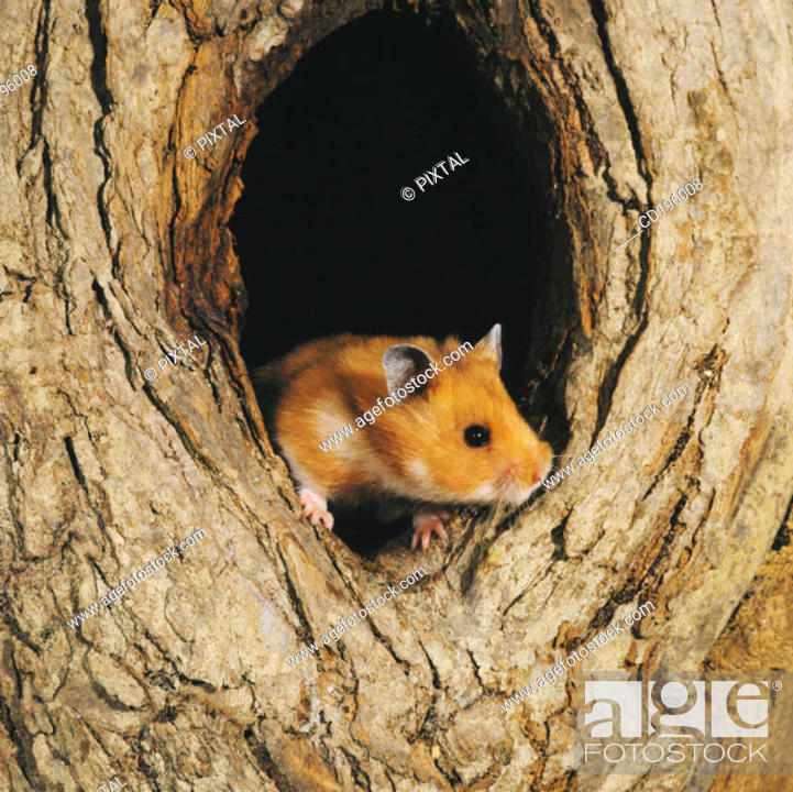 Stock Photo: Hamster.