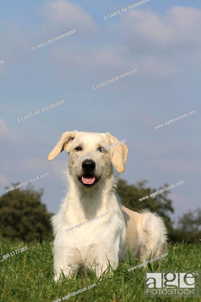 Labrador Giant Schnauzer Hybrid Male
