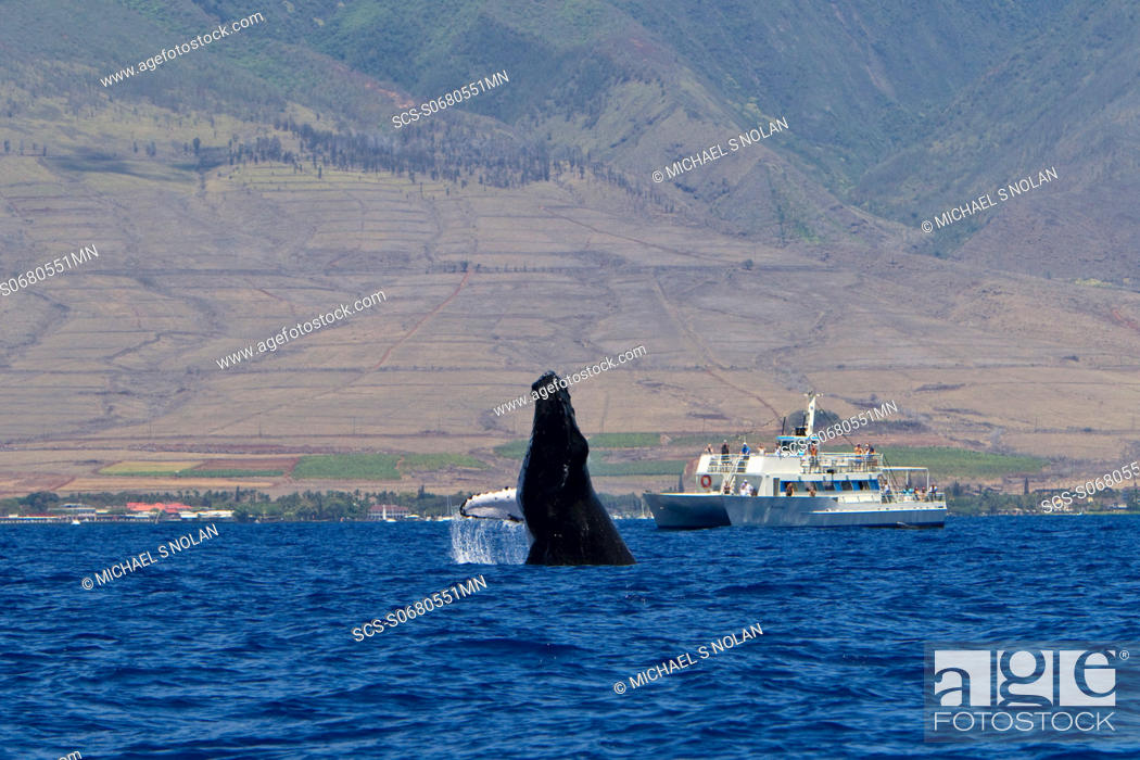 Stock Photo: Adult humpback whale Megaptera novaeangliae breaching near commercial whale watching boat in the AuAu Channel between the islands of Maui and Lanai, Hawaii, USA.