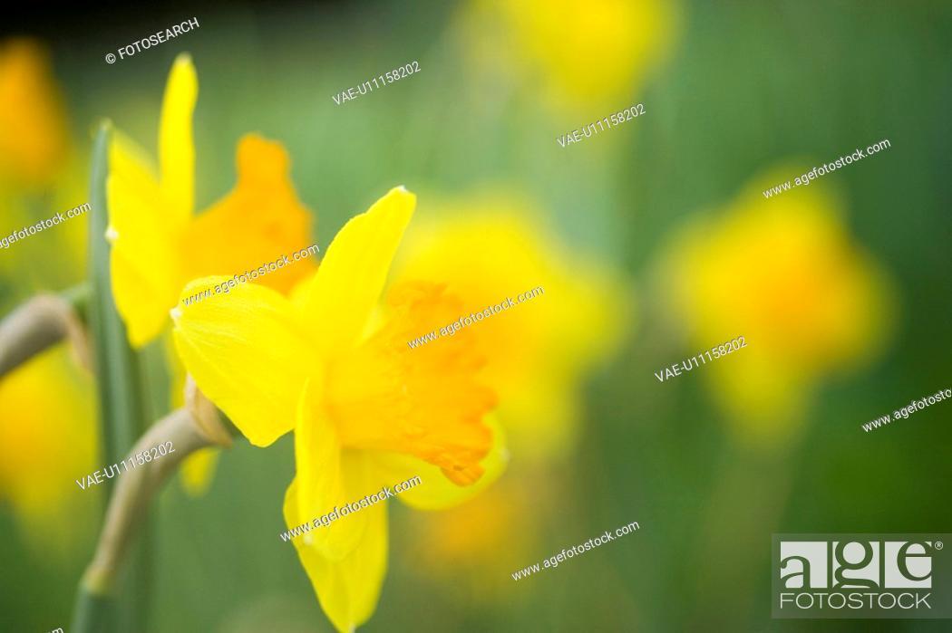 Stock Photo: fruehlingserwachen, gartenpflanze, alfred, bloom, bloomer, blooming.
