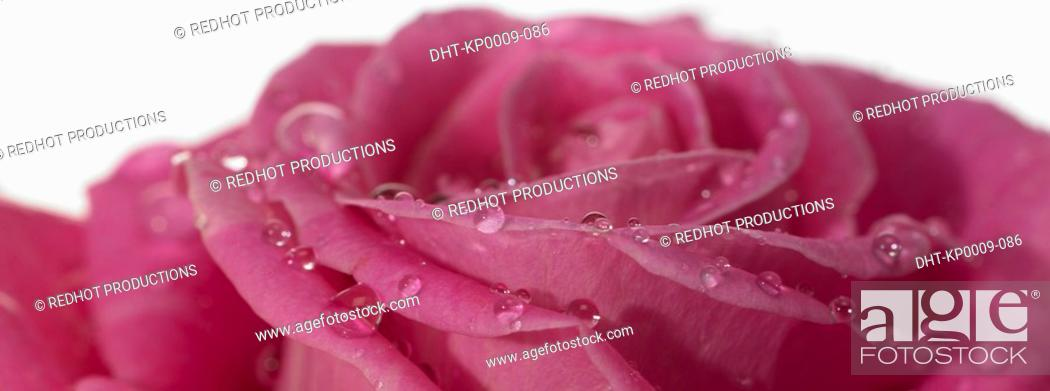 Stock Photo: One pink Rose with dew.
