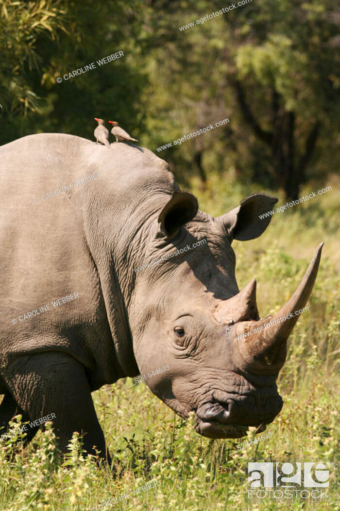 Stock Photo: White Rhino with Red-Billed Oxpecker Birds.