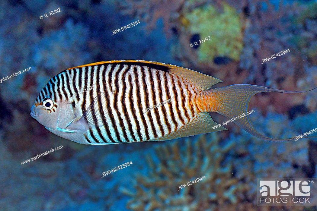 Stock Photo: Zebra angelfish, Lyretail angelfish (Genicanthus caudovittatus), male, Egypt, Red Sea.