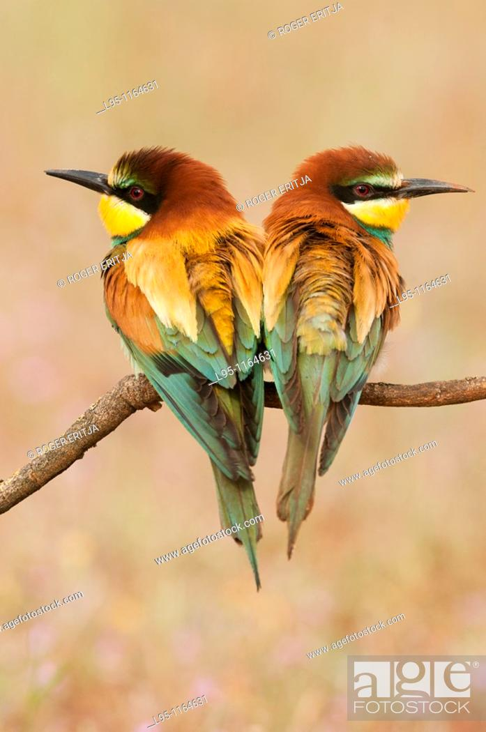 Stock Photo: Couple of European Beeeaters Merops apiaster perched in the surroundings of the nest in breeding season, Spain.