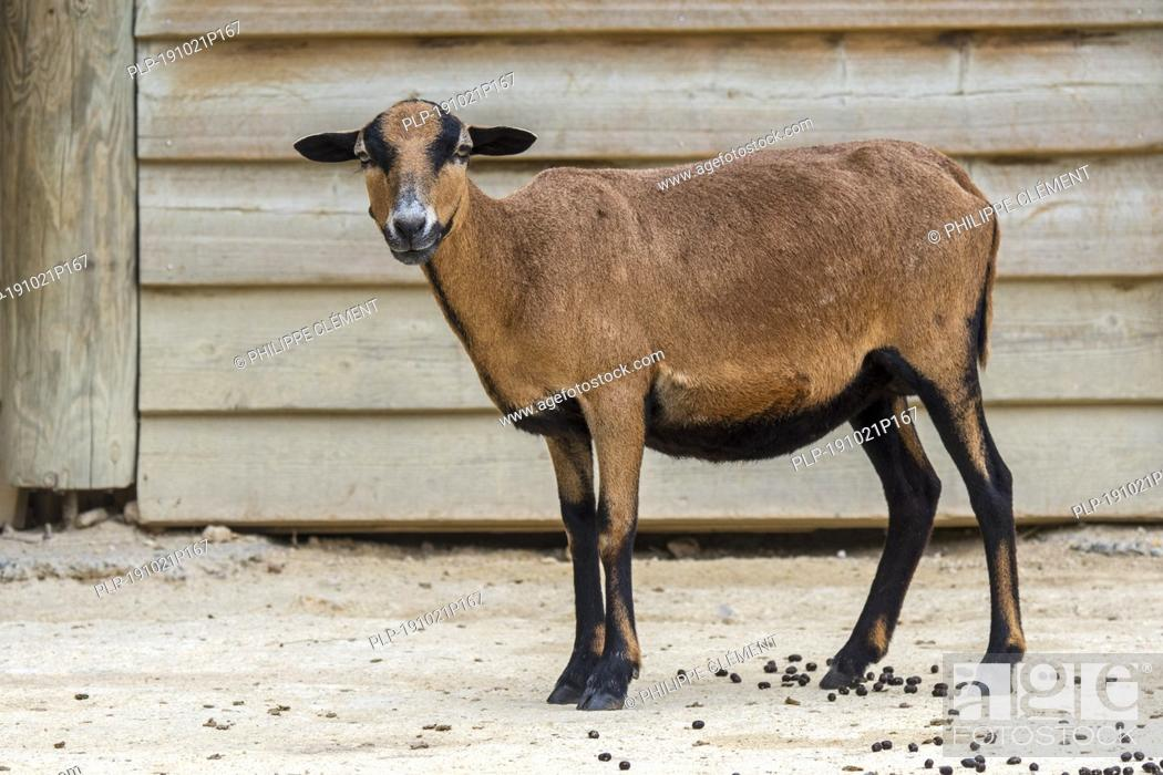Stock Photo: Cameroon sheep / Cameroon dwarf sheep (Ovis aries) ewe, domesticated breed of sheep from West Africa.
