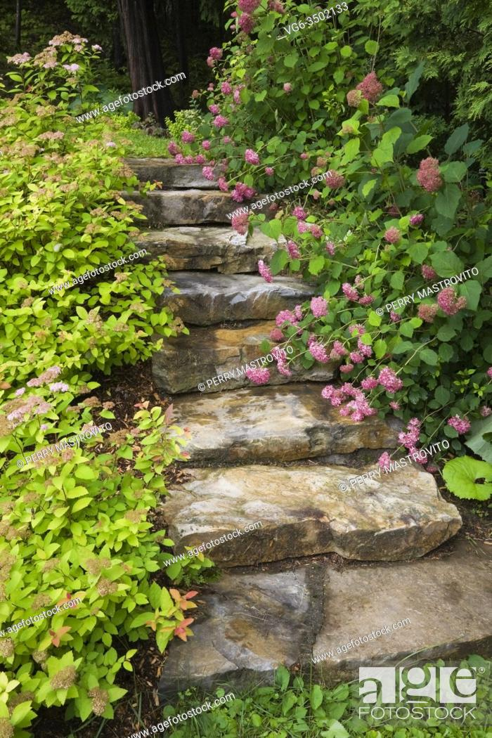 Stock Photo: Natural stone steps bordered by pink Spiraea - Spirea and Hydrangea macrophylla 'Generale Vicomtesse de Vibraye' shrubs in backyard country estate garden in.