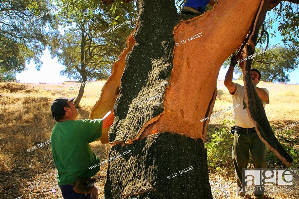 Stock Photo: Cork stripping is the process of removing the bark off of the cork tree, Hornachuelos, Cordoba province, Andalusia, Spain.