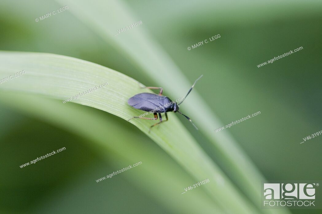 Stock Photo: Plant Bug, Capsus ater. Blcak-bodied plant bug with strikihng red legs and white-tipped antennae.