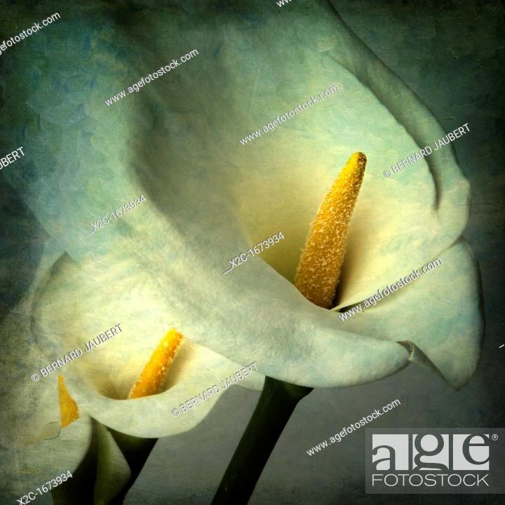 Stock Photo: Arum flowers, vintage look.