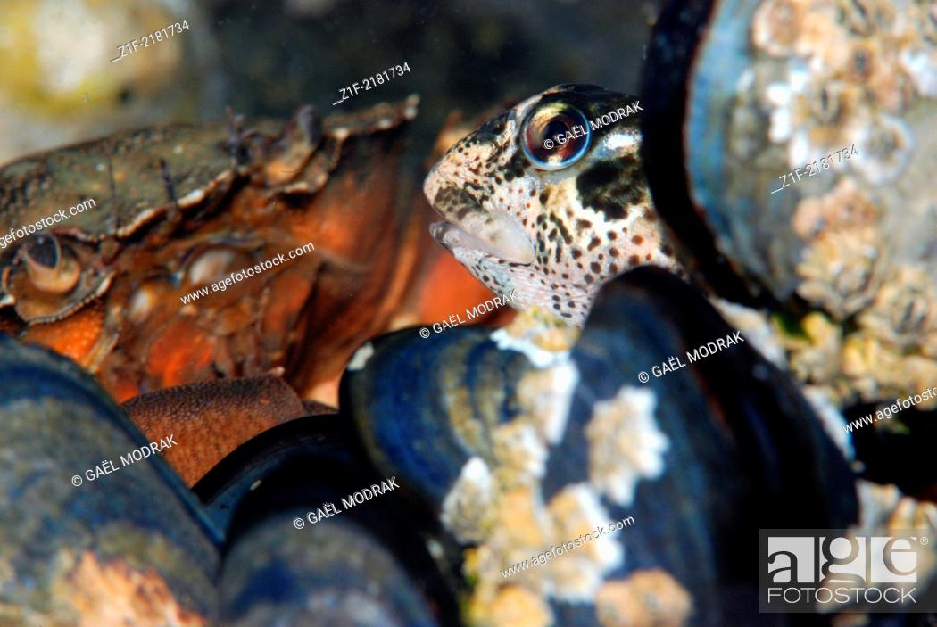 Stock Photo: Green crab observing a pholis blenny seeking to take advantage of its meal relief through the mussels. Carcinus maenas and Lipophrys pholis.