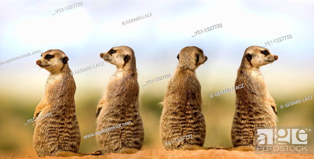 Stock Photo: MEERKAT suricata suricatta, ADULTS LOOKING AROUND, SITTING ON SAND, NAMIBIA.
