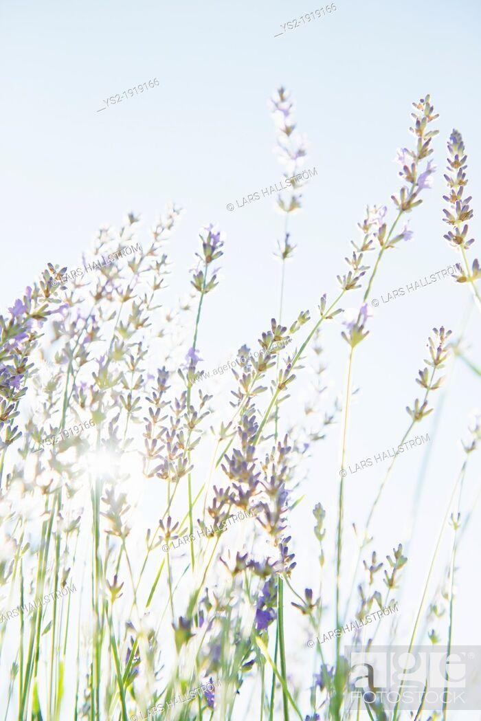 Stock Photo: Blooming lavender flowers in organic herbal garden.