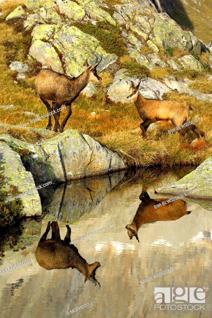 Stock Photo: chamois Rupicapra rupicapra, mother and young mirroring in the water, Switzerland.