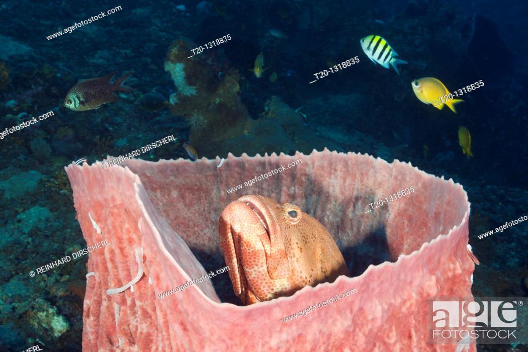 Stock Photo: Grouper inside Barrel Sponge, Cephalopholis sp , Xestospongia testudinaria, Amed, Bali, Indonesia.