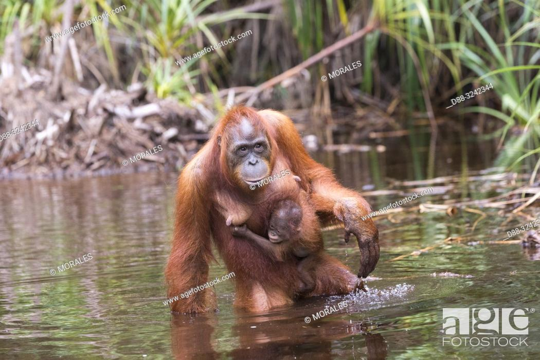 Stock Photo: Asia, Indonesia, Borneo, Tanjung Puting National Park, Bornean orangutan (Pongo pygmaeus pygmaeus), Adult female with a baby near by the water of Sekonyer river.