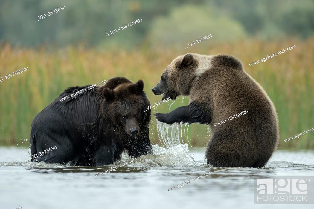 Stock Photo: Eurasian Brown Bears / Europaeische Braunbaeren ( Ursus arctos ) fighting, struggling, playful fight in the shallow water of a lake, Europe.