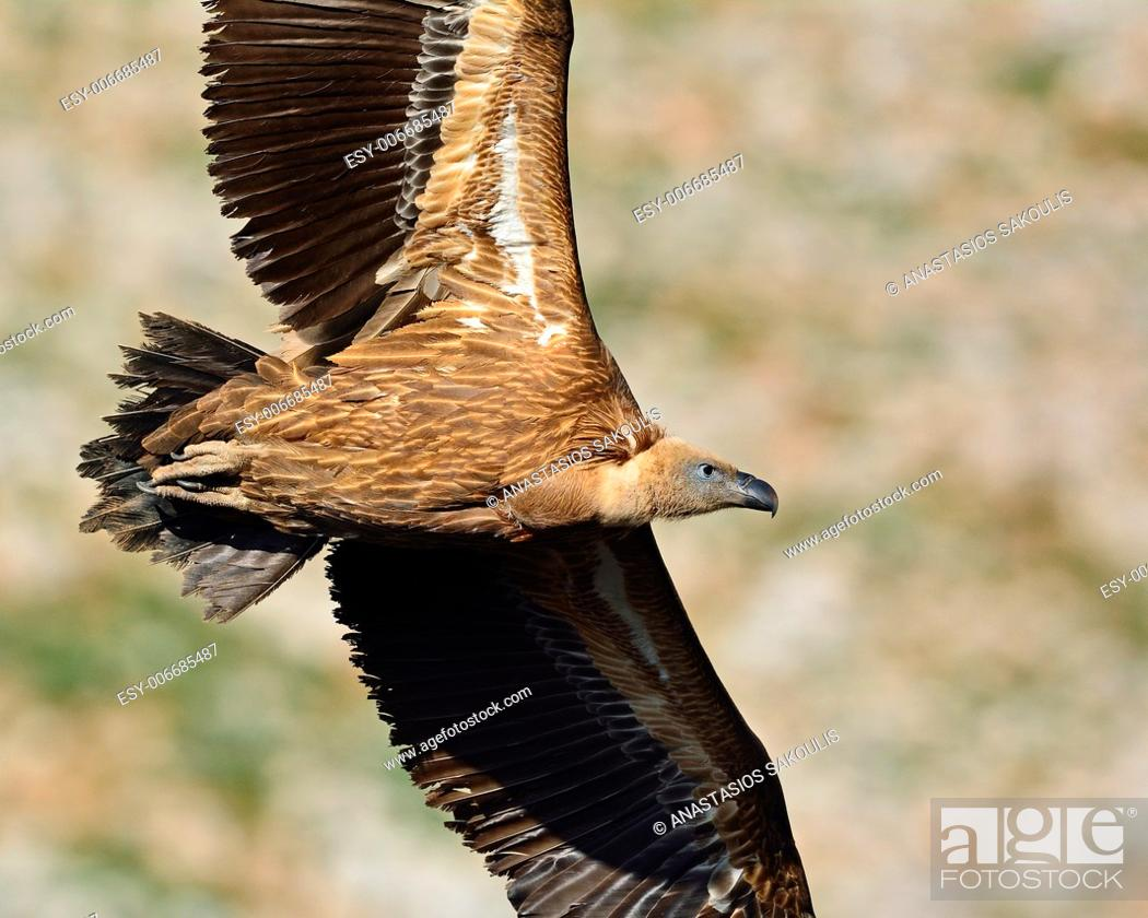 Stock Photo: Griffon Vulture (Gyps fulvus), Crete, Greece.