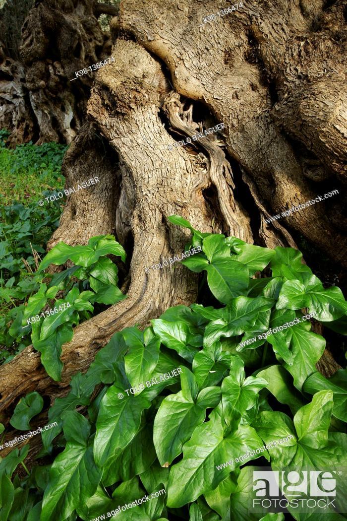 Stock Photo: Olive grove, Sa Bassa Sierra de Tramuntana Bunyola Mallorca Balearic Islands Spain.