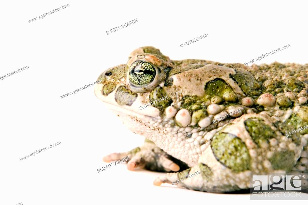 Stock Photo: animals, detail, bufonidae, alfred.