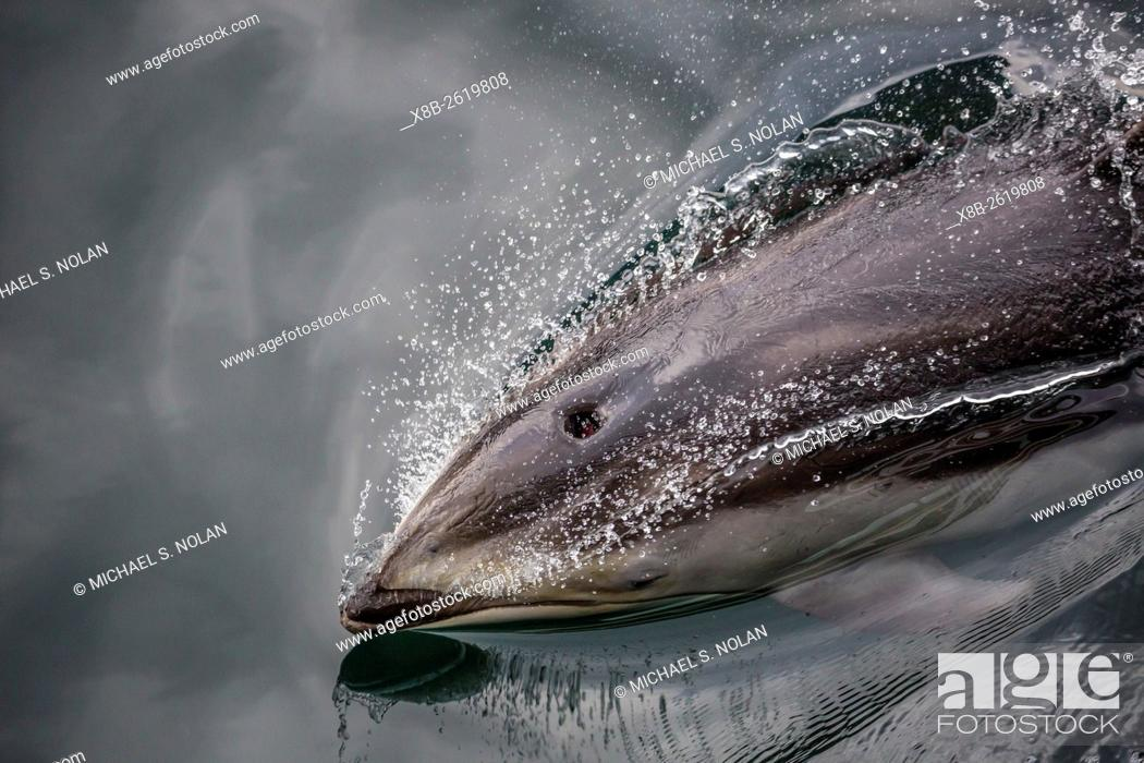 Stock Photo: Pacific white-sided dolphin, Lagenorhynchus obliquidens, surfacing in Johnstone Strait, British Columbia, Canada.