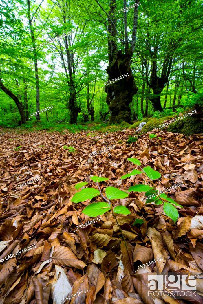 Stock Photo: Beech forest, Oñati, Gipuzkoa, Basque Country, Spain, Europe.