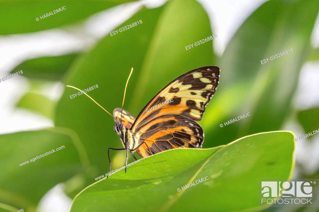 Stock Photo: Tropical butterfly (Eueides isabella).
