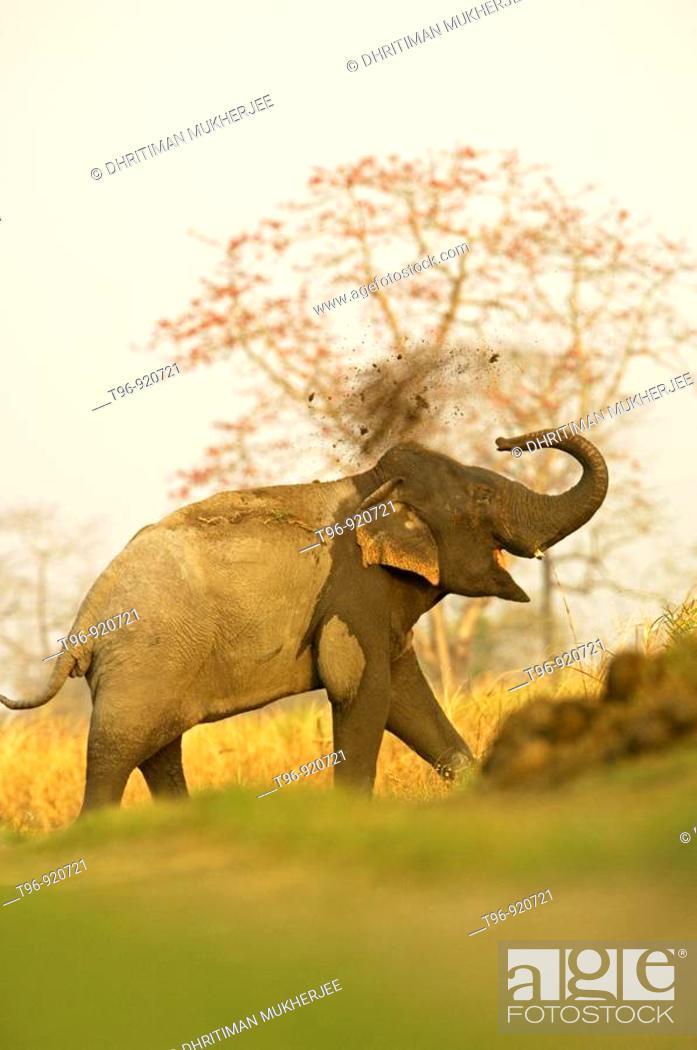 Stock Photo: Asian Elephant (Elephas maximus) at Kaziranga National Park, Assam, India.