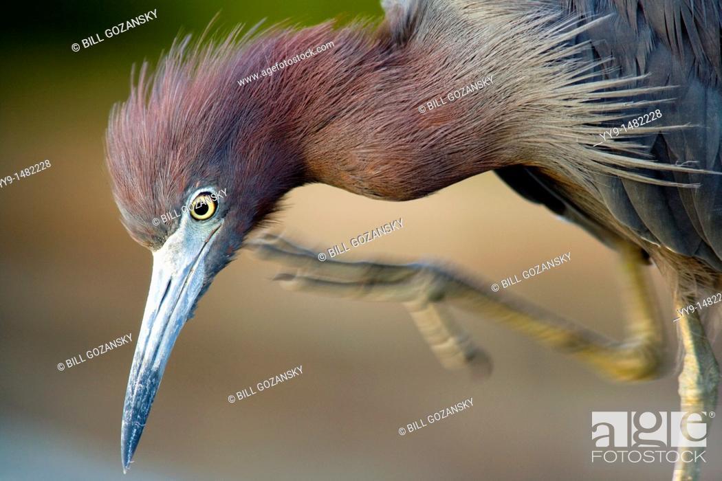 Stock Photo: Littel Blue Heron Preening - Green Cay Wetlands, Delray Beach, Florida USA.