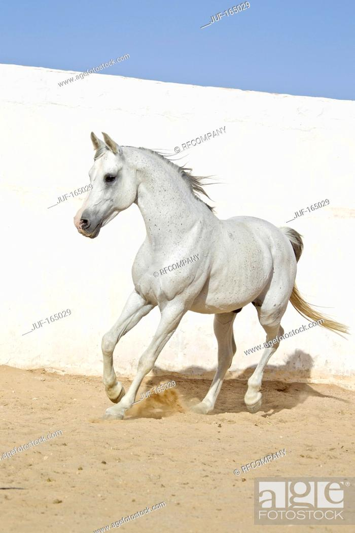Arabian Horse Galloping Stock Photo Picture And Royalty Free Image Pic Juf 165029 Agefotostock