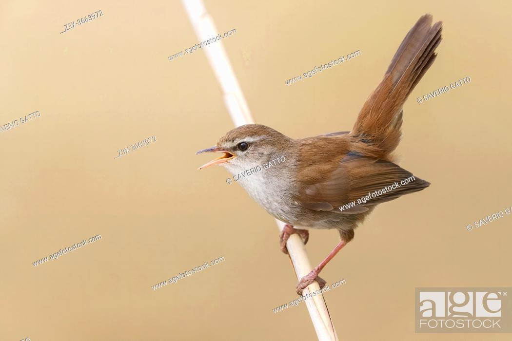 Stock Photo: Cetti's Warbler (Cettia cetti), adult singing and displaying from a reed, Campania, Italy.