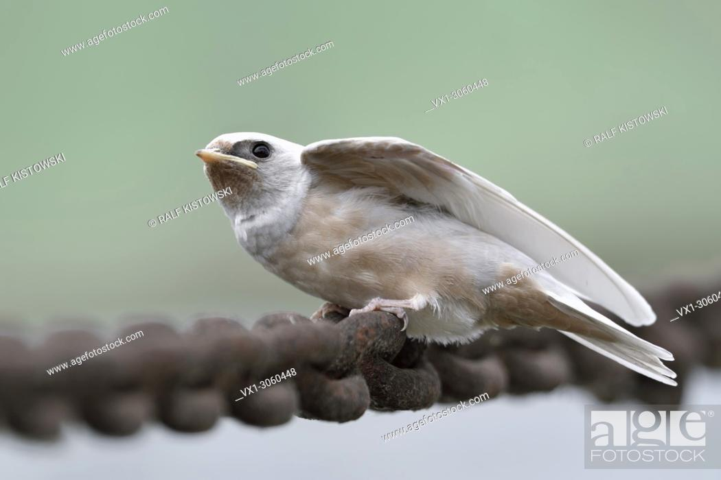 Stock Photo: Barn Swallow ( Hirundo rustica ), just fledged, gene defect, white plumage, leucistic, leucism, perched on a massive chain, begging, wildlife, Europe.