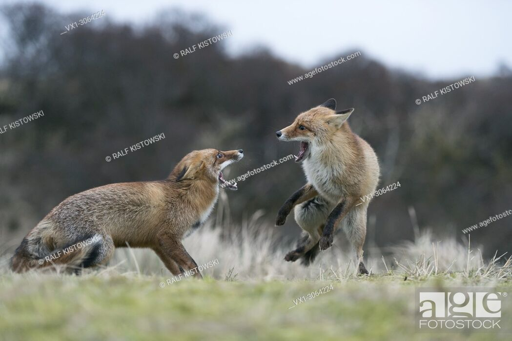 Stock Photo: Red Foxes (Vulpes vulpes) in aggressive fight, fighting, threatening with wide open jaws, attacking each other, during rut, wildlife, Germany, Europe.