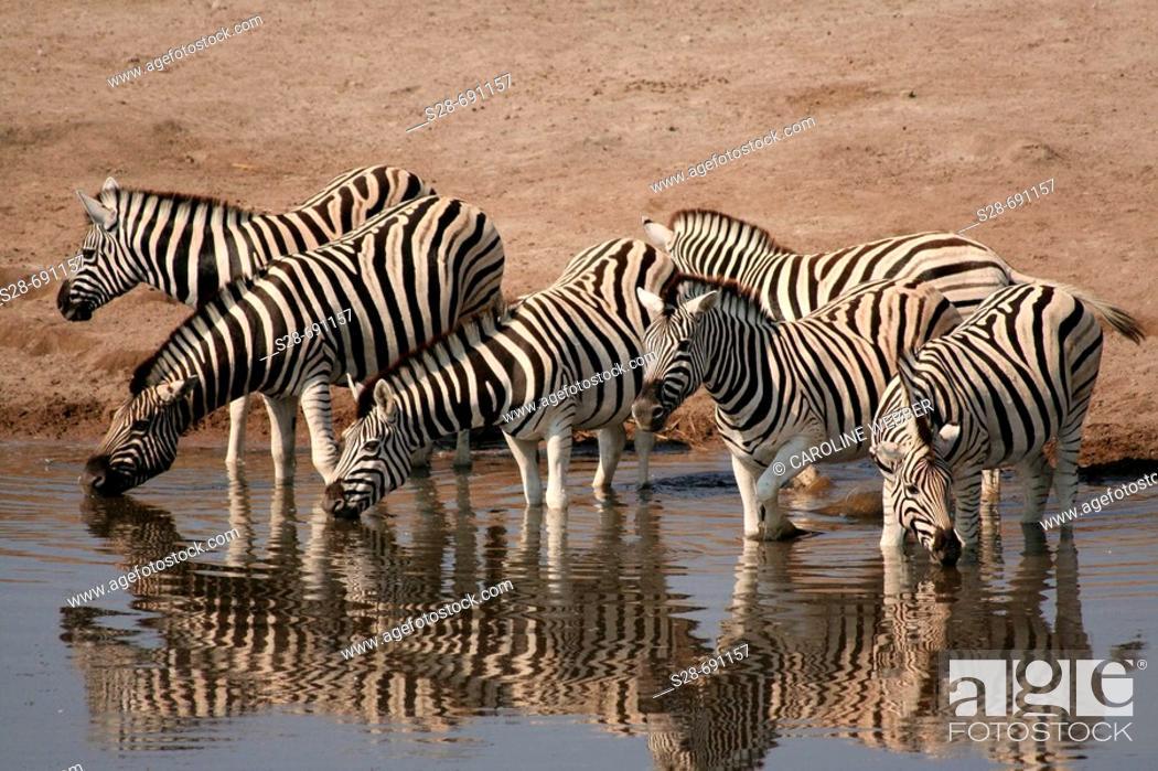 Stock Photo: Zebras at waterhole, Etosha National Park. Namibia.