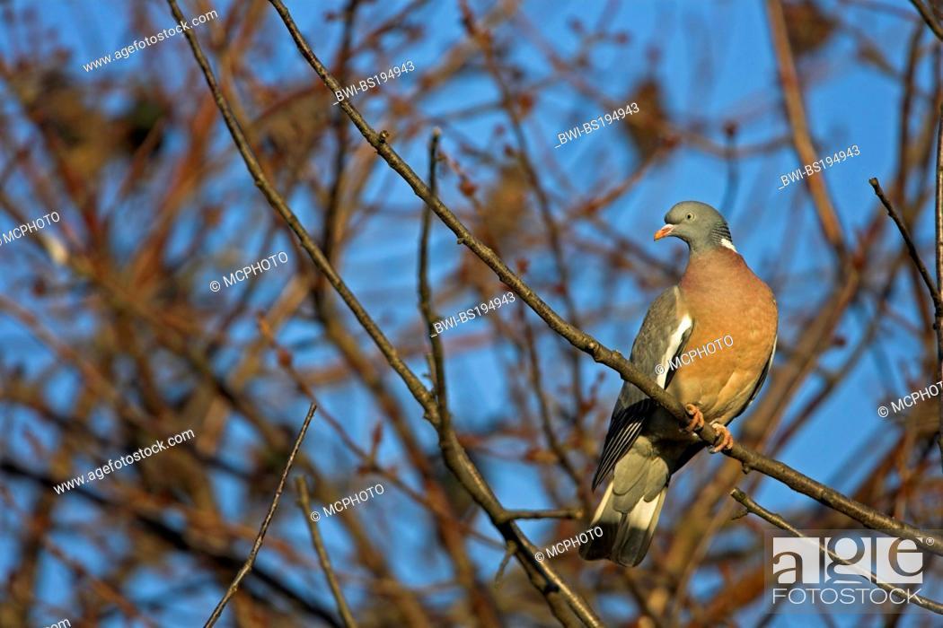 Stock Photo: wood pigeon (Columba palumbus), on a tree, Germany.