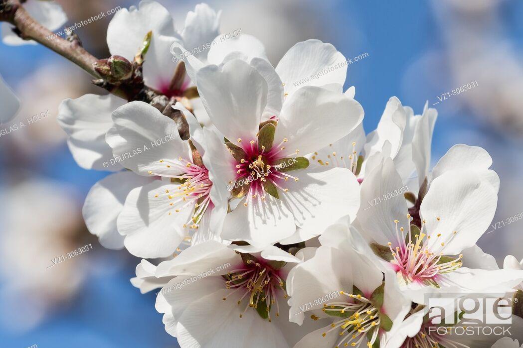 Imagen: Fruit Tree Blossoms San Joaquin Valley, California, USA.