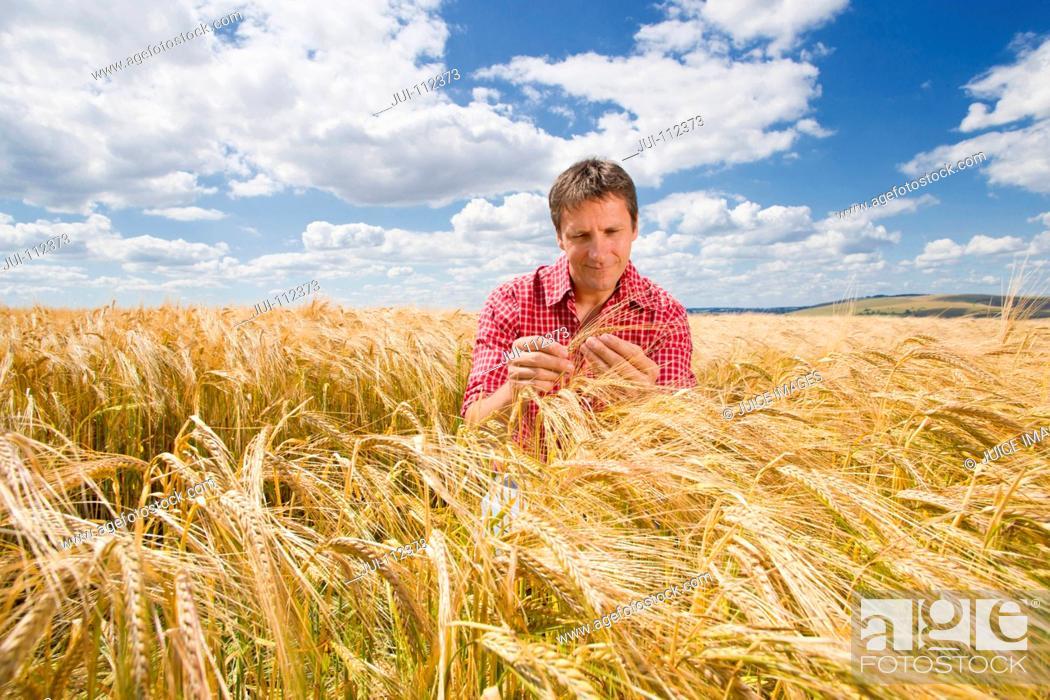 Stock Photo: Farmer examining sunny rural barley crop field in summer.