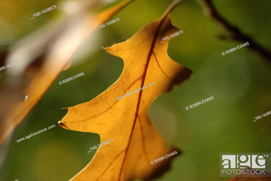 Stock Photo: Autumnal glow of a sweeping oak leaf ready to fall.