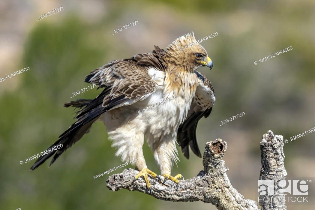Stock Photo: Booted eagle (Hieraaetus pennatus), shaking feathers.