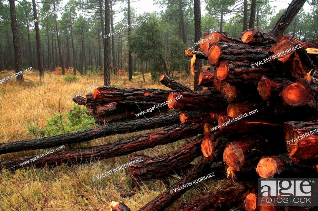 Stock Photo: Maritime Pine (Pinus pinaster) logs, Monte Pina. Alto Palancia, Castellon province, Comunidad Valenciana, Spain.