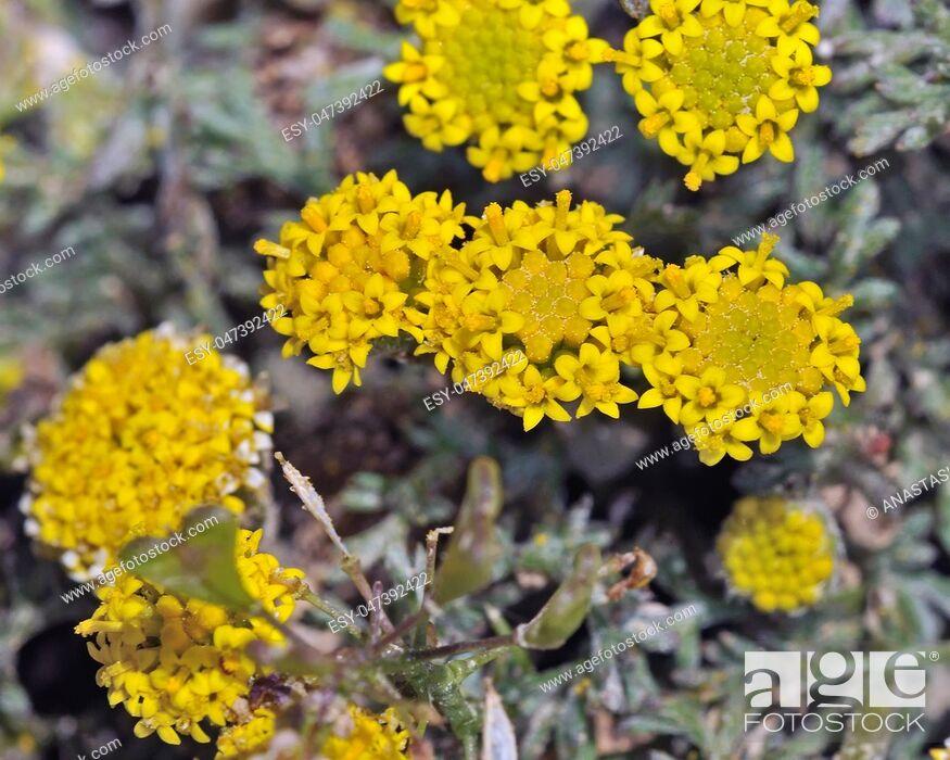 Stock Photo: Flowers of Anthemis rigida, Crete.