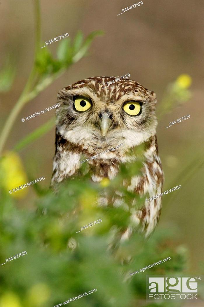 Stock Photo: Little Owl (Athene noctua), Doñana National Park. Andalucia, Spain.
