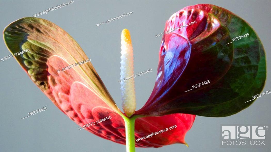 Stock Photo: Anthurium (Anthurium scherzerianum).