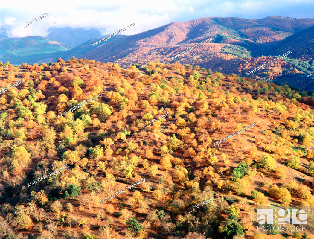 Stock Photo: Chestnut trees, Serranía de Ronda. Málaga province, Spain.